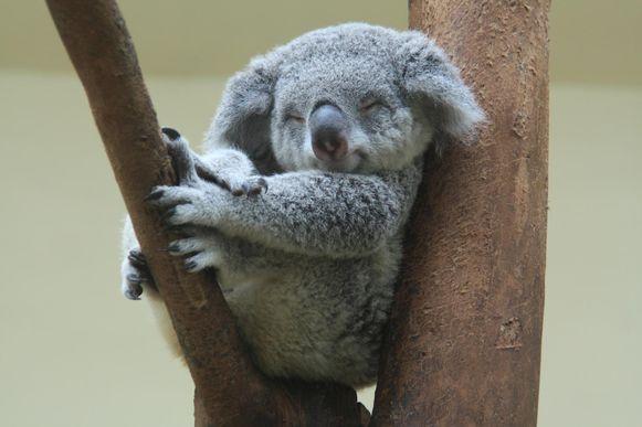 Een koala die in de boom slaapt.