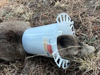 Reekalfje dreigt te sterven door stuk plastic maar wordt bevrijd en herenigd met moeder