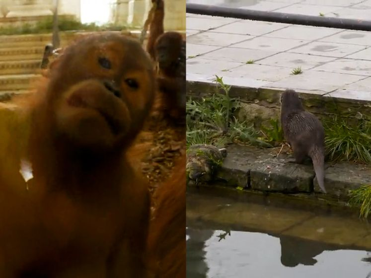 Pairi Daiza, een plaats vol ongewone vriendschappen: orang-oetans kunnen het goed vinden met otterburen
