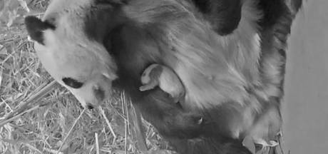 Babypanda is een maand oud en 'lijkt nu al op een reuzenpanda'