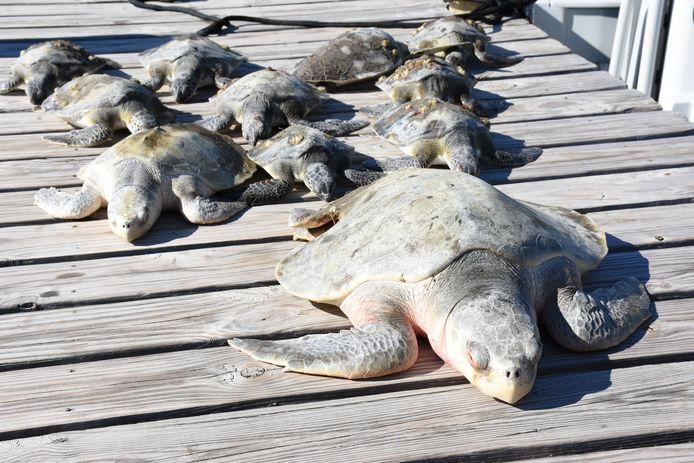 Een groep door de kou verdoofde zeeschildpadden nadat ze gered worden op het St. Joseph-schiereiland in Florida.