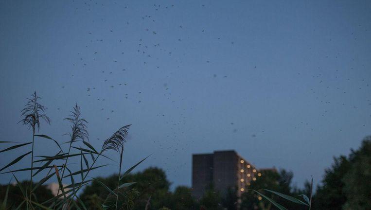 Muggen voelen zich nog altijd thuis in de polder Beeld Maarten Boswijk