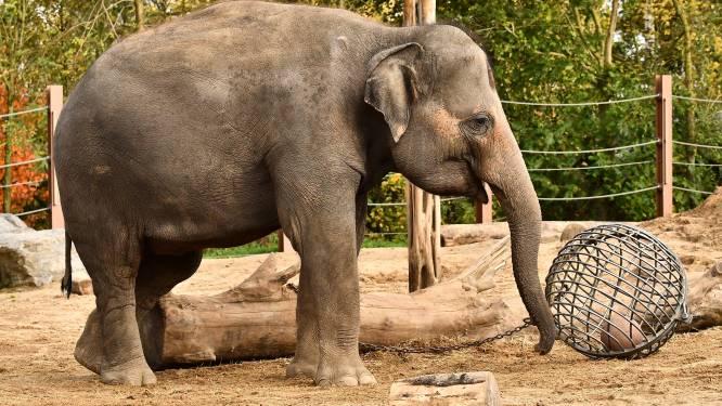 Grootste olifantenkudde van Europa breidt uit: Pairi Daiza verwacht alweer babyolifantje