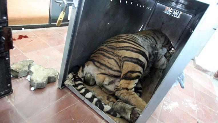 De Sumatraanse tijger tijdens zijn transport Beeld EPA