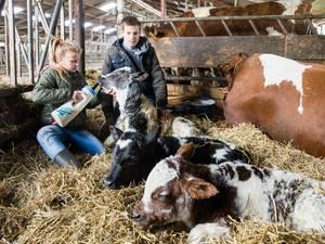 Zeldzame koeiendrieling geboren