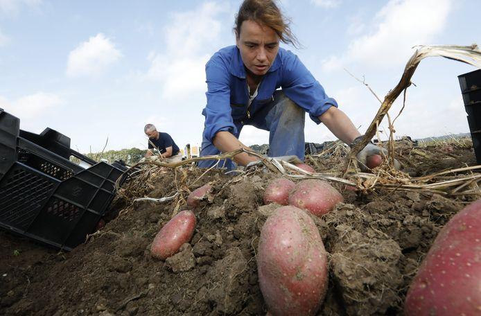 Speuren naar de superpieper. Wageningen Universiteit & Research (WUR) doet onderzoek naar aardappels.