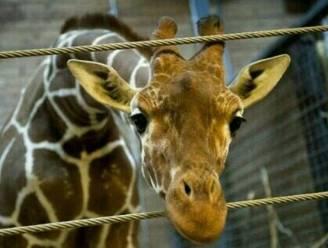 Gezonde giraf geslacht in zoo van Kopenhagen
