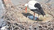 Ooievaarsjongen worden geringd in Damme-centrum