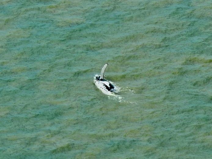 Het dier zwom op eigen houtje terug de zee in.