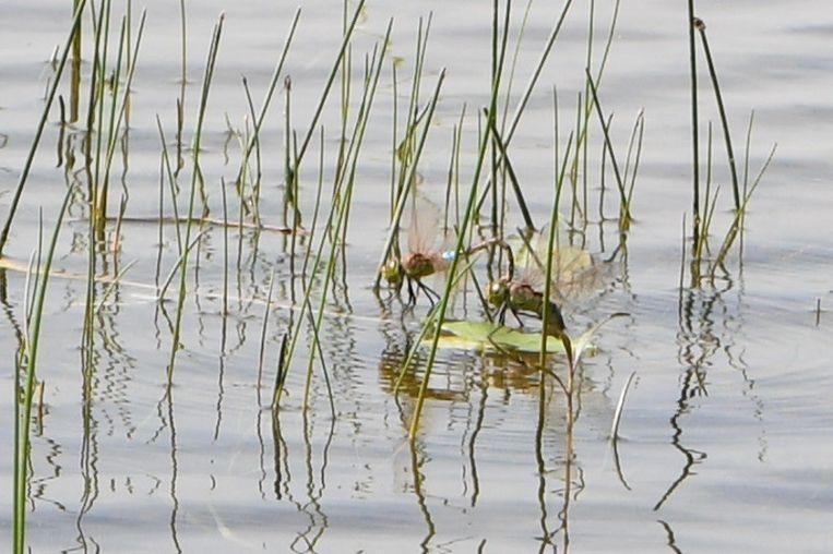 De Afrikaanse zadellibel is bezig met zich voort te planten in de Kalmthoutse Heide