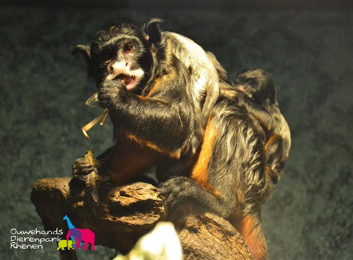 Terwijl moeder een sprinkhaan verorbert, klampt haar tweeling zich vast op haar rug.