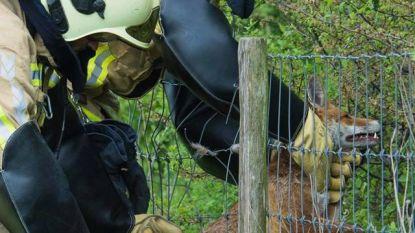 Brandweer redt gewond vosje uit afrastering