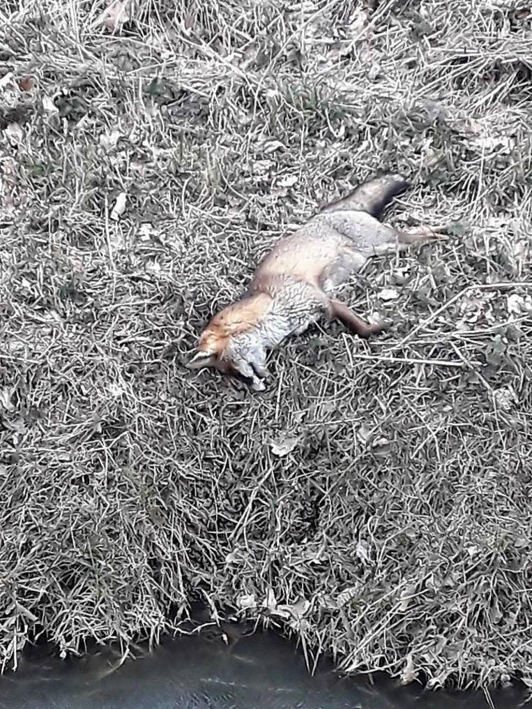 De vos die in het Haachts Broek werd gevonden, bleek vergiftigd te zijn.