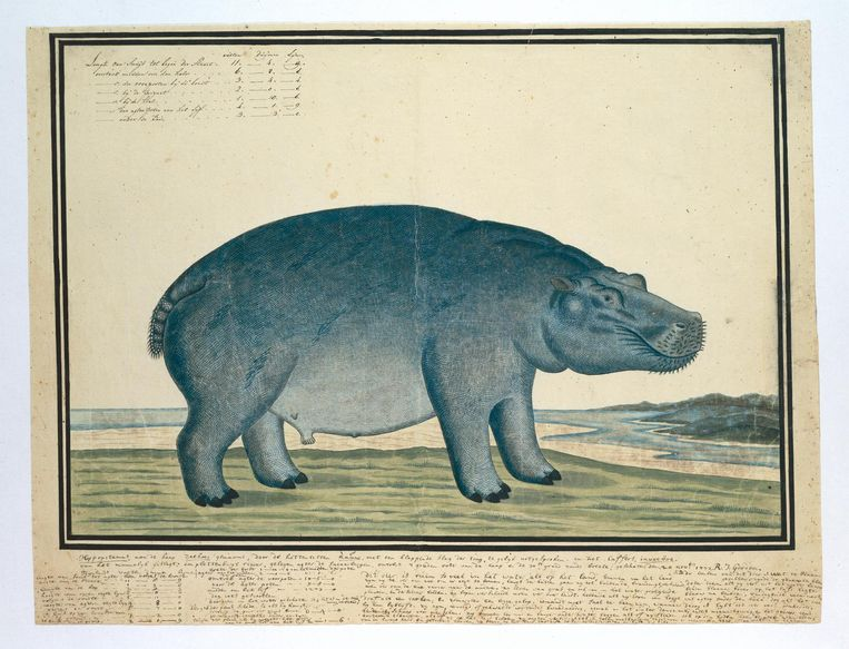 Een van de tekeningen van Robert Jacob Gordon die te zien is. Dit is de hippopotamus amphibius capensis, tegenwoordig beter bekend als nijlpaard. Beeld Rijksmuseum
