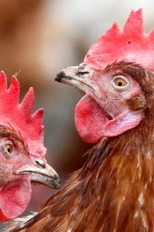 Grote zorgen om welzijn kippenboeren