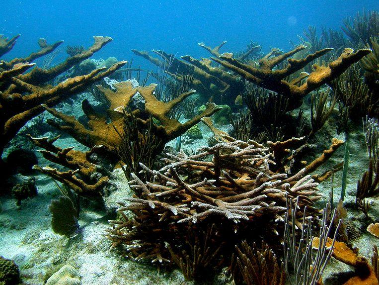 Koraal voor de kust van Bonaire. Beeld AP