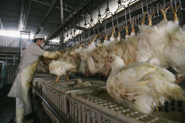 10 miljoen kippen onverdoofd geslacht | Dieren ...