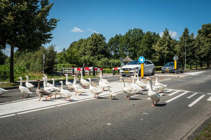 De groep ganzen zorgt voor veel overlast op de Zwolscheweg in Elburg.