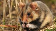 26 wilde hamsters uitgezet in leefgebied in Widooie