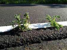 Onkruid door fonkelnieuw asfalt blijkt oersterke distel. Krijgt Alphen de plant klein?