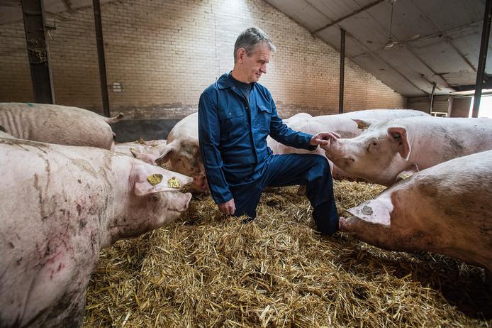 """Sjef van den Nieuwelaar, varkenshouder in het buitengebied van Roosendaal, in de diervriendelijke strostal voor drachtige zeugen. ,,Het plan van D66 is niet meer dan een zeepbel met onjuiste cijfers."""""""