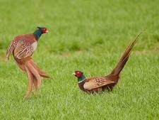 Voorwaardelijke boete Didammer (85) met ongeringde fazanten