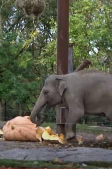 Dat is genieten! Olifanten aan de haal met pompoen van 635 kilo