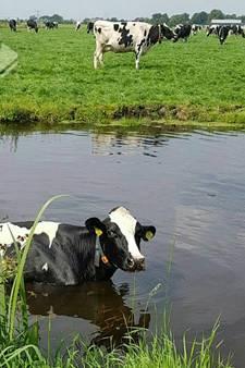 Koe neemt frisse duik in het Loetbos