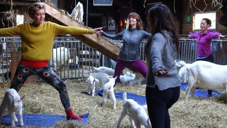 Pas op je trui: daar knabbelen geitjes graag aan! Beeld Brenda Brood