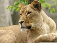 Leeuwin bijt de vader van haar welpjes dood