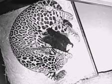 Gevlekte jaguar in Artis werpt twee zwarte welpjes