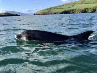 """Heel Ierland op zoek naar geliefde dolfijn Fungie die na 37 jaar is verdwenen: """"Alsof een familielid is vermist"""""""