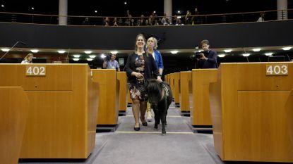 Blindengeleidepaardje Dinky bezoekt het Europees Parlement
