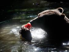 Verkoelende plons voor een maaltje: dieren in Ouwehands genieten in het water van eten