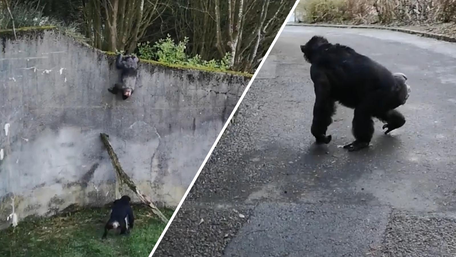 Een van de apen besloot een ommetje te maken.