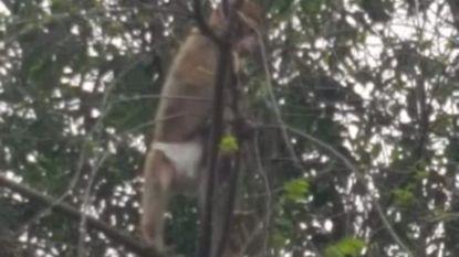 Berberaapje dat met luier uit Antwerpse boom werd gehaald, heeft nieuwe thuis gevonden