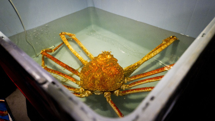 Reuzenspinkrab Crabzilla op een foto uit 2011 in zijn verblijf in Sea Life in Scheveningen. De krab werd verplaatst naar een filiaal van Sea Life in Parijs.