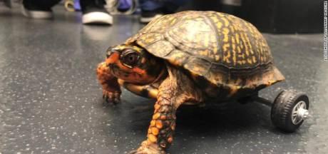 Gehandicapte Pedro is de snelste schildpad op twee... wielen