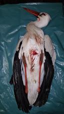 De woensdagavond gevonden dode ooievaar.