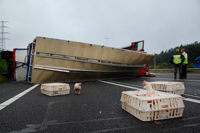 Kippen lopen op de snelweg na het kantelen van de vrachtwagen op de A50.
