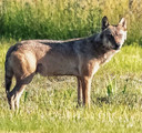 Wolf gespot in de Moerputten in Den Bosch.