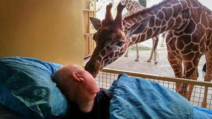 Een dierenverzorger wilde nog eenmaal langs 'zijn' giraffen. Hij kreeg een afscheidskus