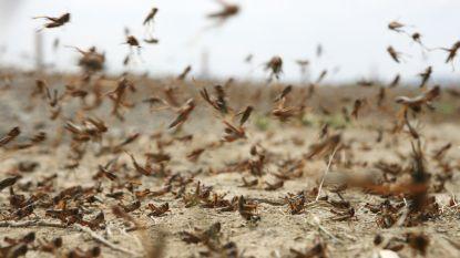 70 miljoen euro voor strijd tegen sprinkhanen in Oost-Afrika, maar miljarden insecten blijven zich vermenigvuldigen