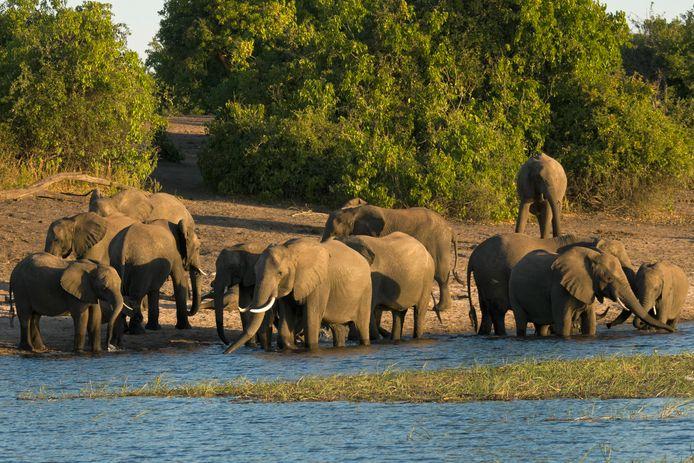 Olifanten in Botswana.