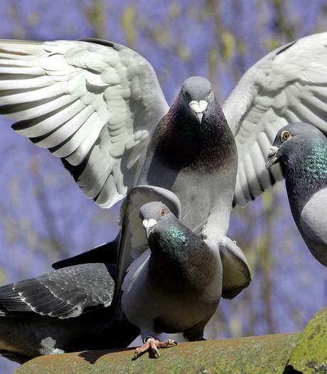 Voorwaardelijke boete voor vrouw die 21 duiven liet verhongeren