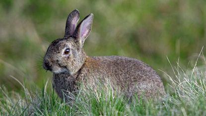 Hoe vijf konijnen een eiland vernielden