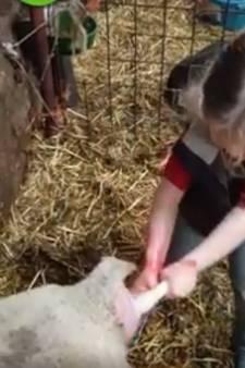 Sofie (3) helpt lammetje ter wereld: Nou is hij leeg papa!