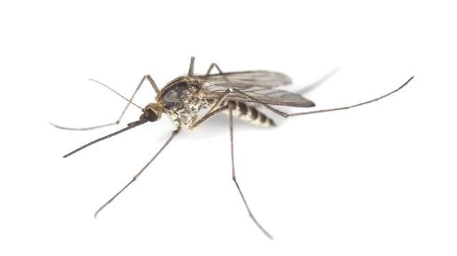 Risico op ziekten door muggen in België groeit
