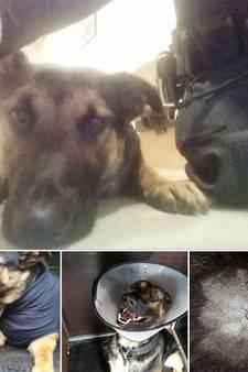 Politiehond 'Battje' uit Almelo lichtgewond