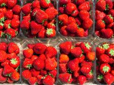 Mega-aardbeienkas Dutch Berries in Zuilichem geopend